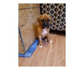 4 males and 3 females Boxer puppies for sale