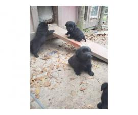 4 AKC black Lab puppies for sale