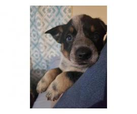 3 Blue Heeler puppies available