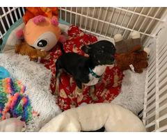 One Chorkie puppy left