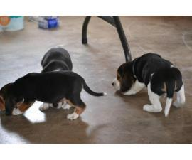 3 tri-colored male beagle puppies