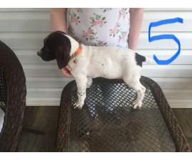 3 German Shorthaired Pointer puppies for sale