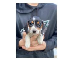 2 AKC Mini Dachshund Puppies for Sale