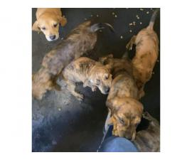 Plott Hound puppies 7 weeks old