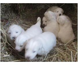 AKC Registered Great Pyrenees Puppies For Sale