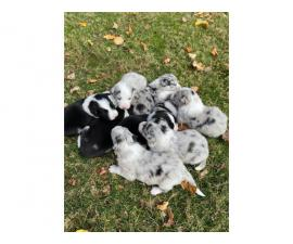 7 ABCA registered border collie puppies