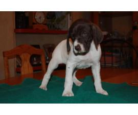 4 GSP puppies for sale