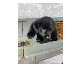 2 Purebred Black lab puppies for sale