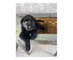 2 Purebred Black lab puppies for sale