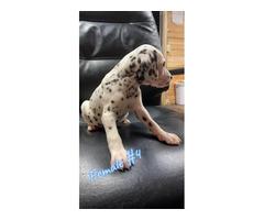8 weeks old Dalmatian puppies