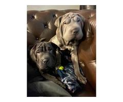 2 Purebred Shar-pei puppies