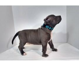 UKC American Bully Puppies for Sale