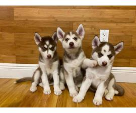 3 Adorable Husky puppies for sale