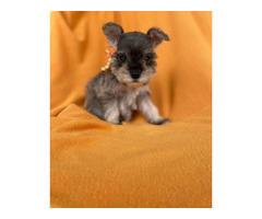 7 Miniature Schnauzer puppies