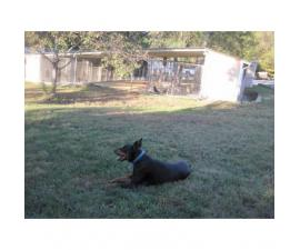 2.5 year old male doberman AKC