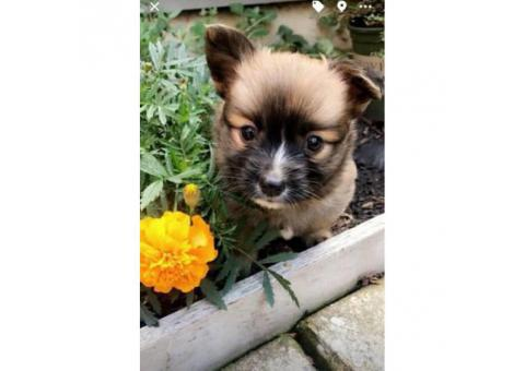 2 pomchi puppies for sale