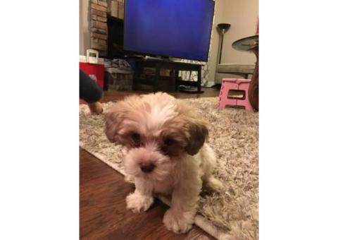 Beautiful Shihtzu/Poodle male 4 months old
