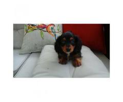 Ckc registered mini dachshund for sale 2 females 3 males