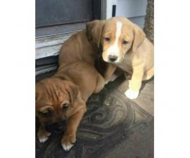 2 puppies left they are boxer mix