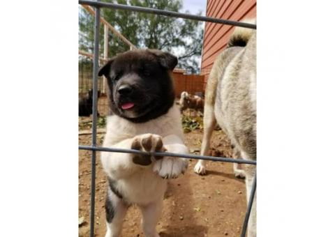 1 female 1 male Akita puppies for sale 2017
