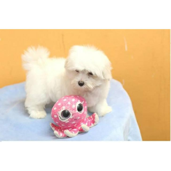 Adorable Teacup Maltese puppies for sale in Dubuque, Iowa ...