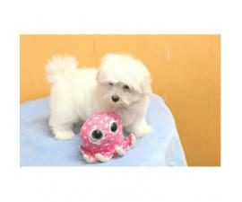 Adorable Teacup Maltese puppies for sale