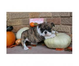 We have males and females available AKC registered English Bulldog Puppies