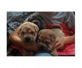 Sharpei chow chow mix puppies