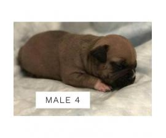 Pocket Bully Puppies $2500