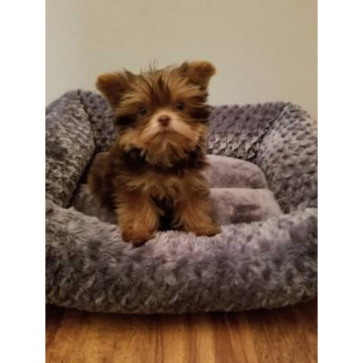 3 months old YORKIE POO PUPPY in Indianapolis, Indiana ...