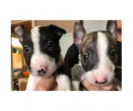Available to reserve now Stunning Litter of six absolutely beautiful English Bull Terrier puppies