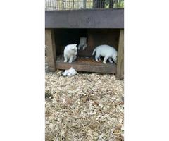 2 beautiful, all white husky puppies