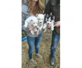 2 beautiful, all white husky puppies