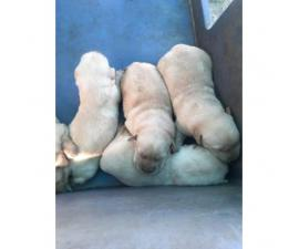 5 yellow lab male puppies for sale