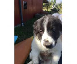 10 weeks old American Border Collie Assosiation registered Puppies