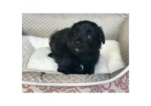 Beautiful Rare Pure Black Maltese Chihuahua Puppies