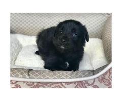 Beautiful Rare Pure Black Maltese Chihuahua Puppies