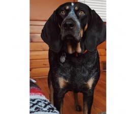 Bluetick coonhound Registered with the UKC