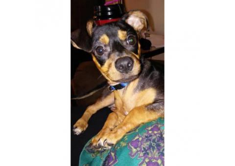 6 month old chiweenie I need to rehome