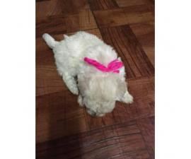 Bichon Frise Puppies for sale, 2 girls and 3 boys