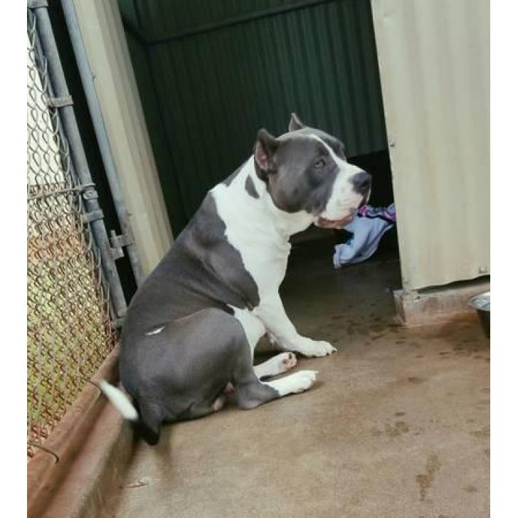 XL Bully Pitbull Puppies show quality dogs in Oahu, Hawaii ...