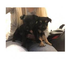 2 fun loving chorkie puppies left