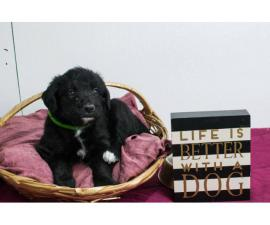 3 Bordoodle puppies for sale