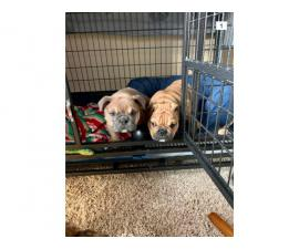 2 AKC Male English Bulldog puppies for sale