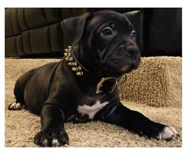 4 American Bully puppies available