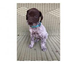 2 AKC German shorthair pointer puppies for sale