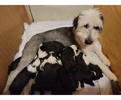 Beautiful litter of Shepadoodle puppies