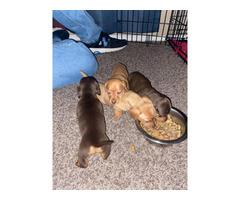 4 female Mini Dachshund puppies