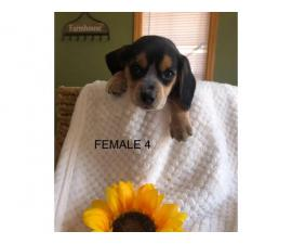 5 Blue tick Short-legged beagle puppies