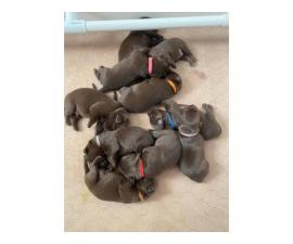 Litter of 10 AKC Chocolate Lab Puppies